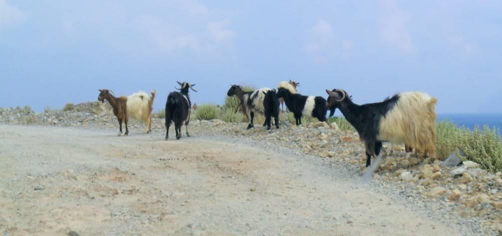 Козы по дороге на Балос