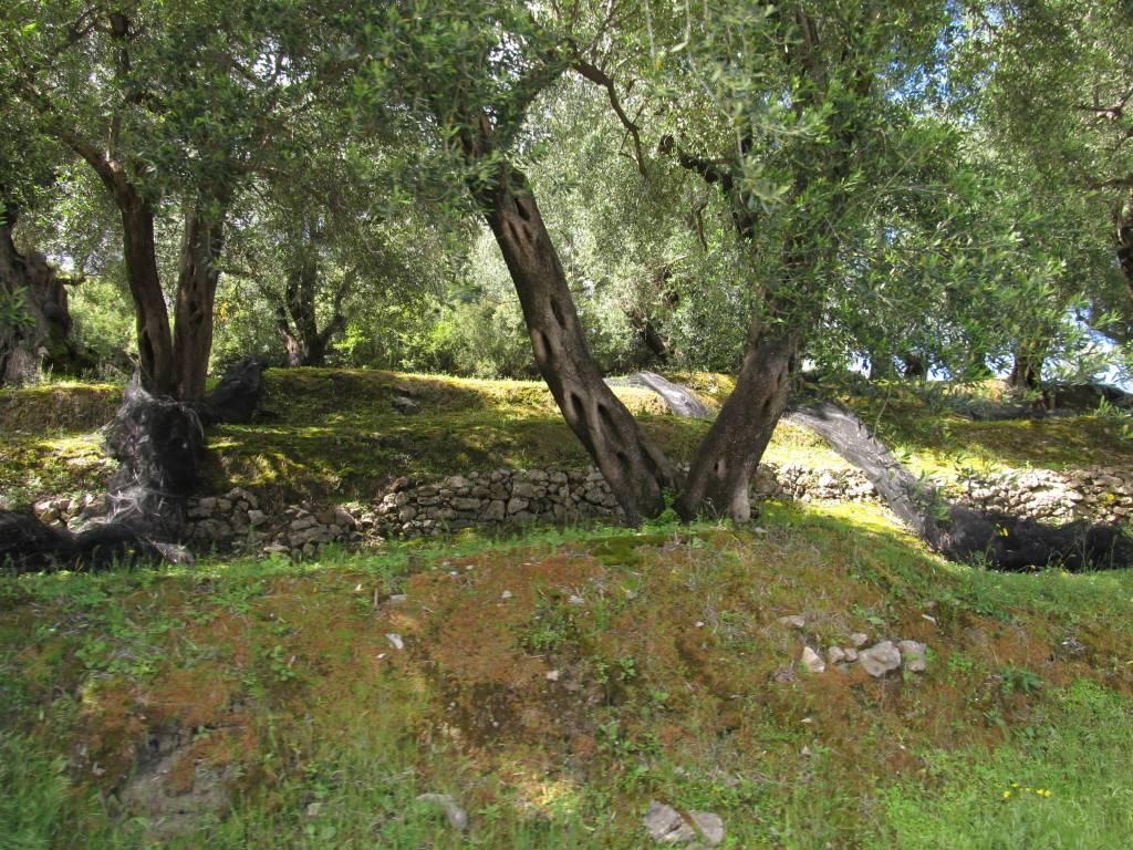 Оливковые террасы