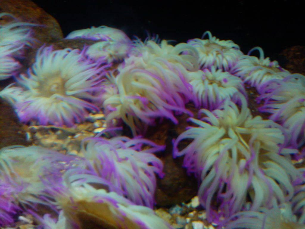 морские анемоны